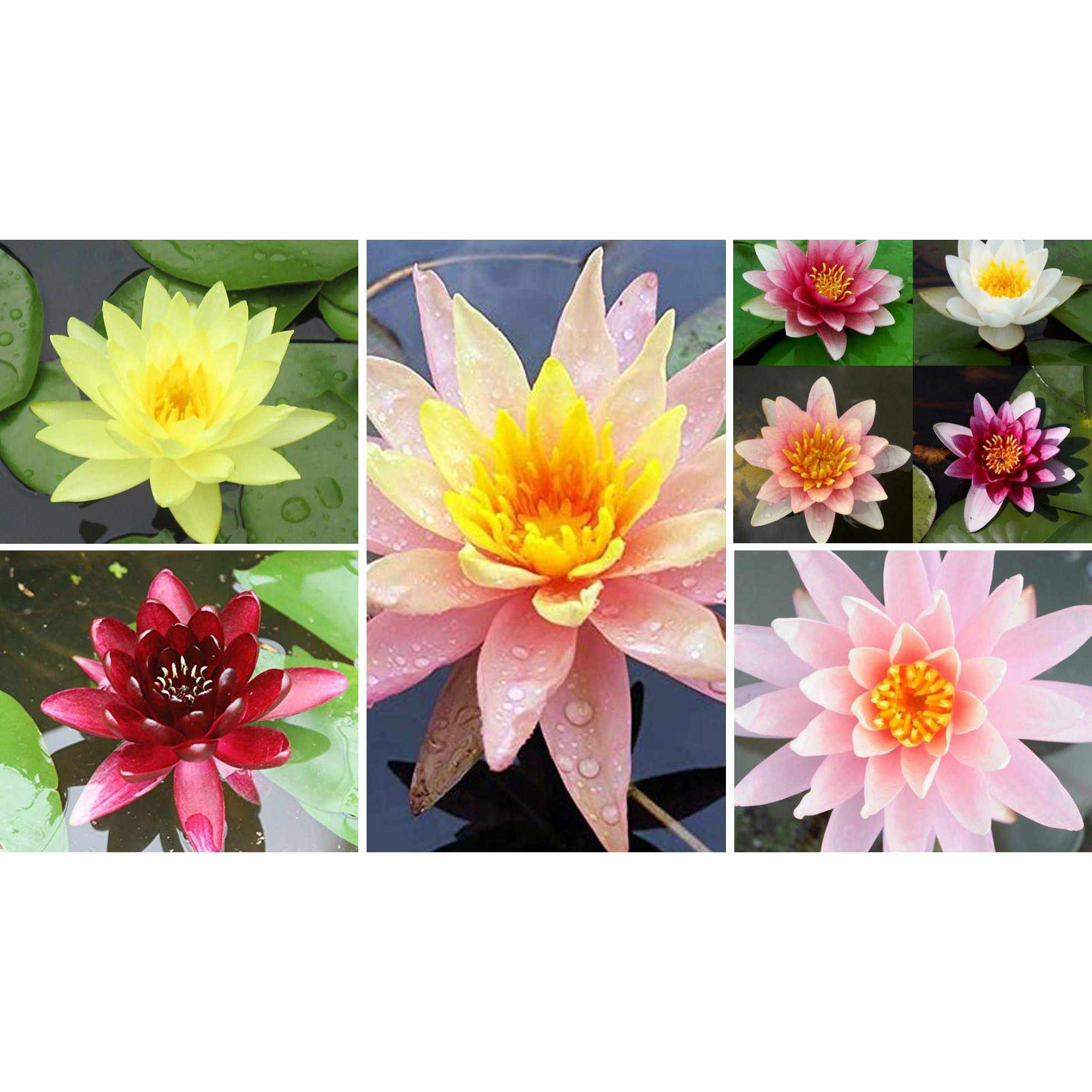 Assorted Hardy Water Lily Pack (Bare Root) PlayItKOi