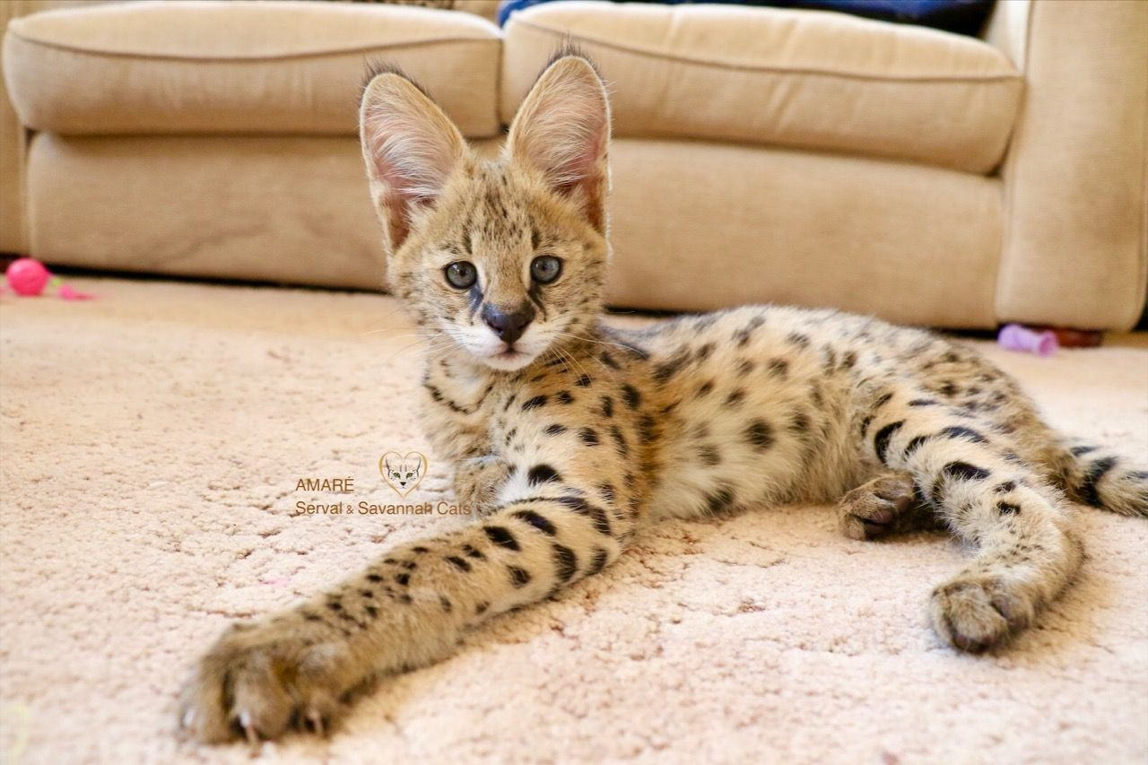 Well Trained Exotic Cats For Sale