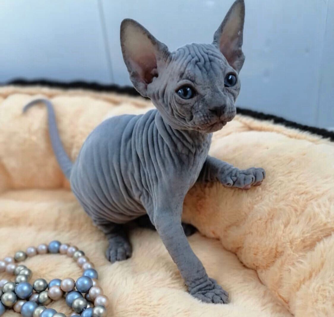 Adorable sphynx kittens available