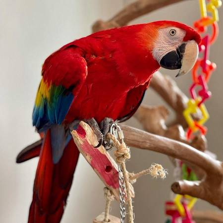 Scarlet Macaw for sale
