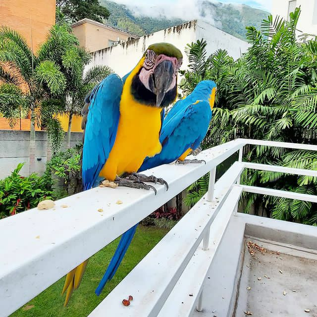 2 Gold and blue Macaws available