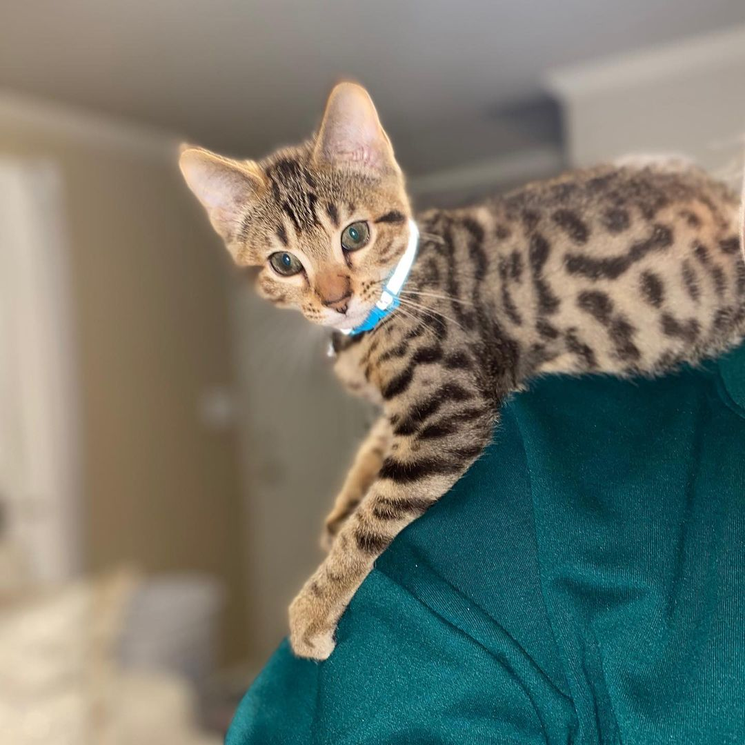BEAUTIFUL PURE BENGAL KITTENS READY FOR FOREVER HOME
