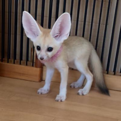Fennec fox kits for sale