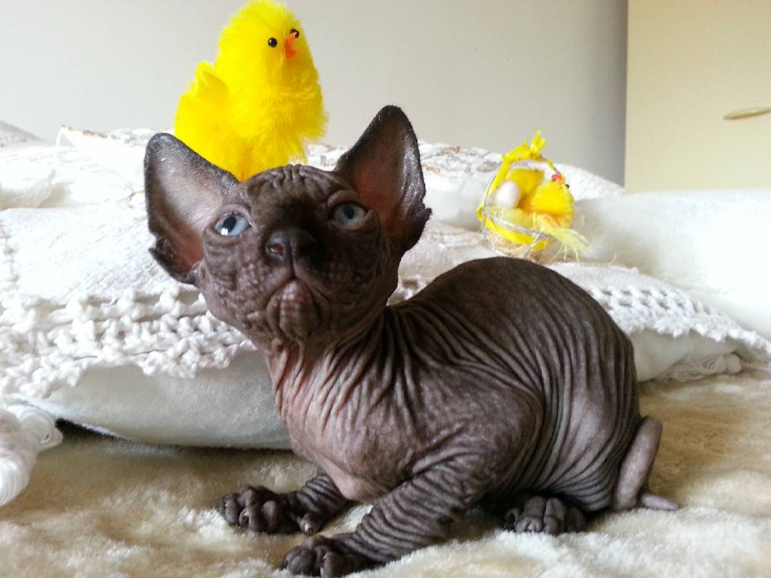 hairless cat for sale