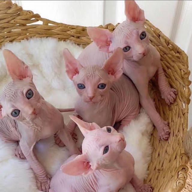 Hairless sphynx kittens available and ready with papers