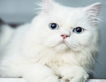 Persian Cat for Sale Near Me
