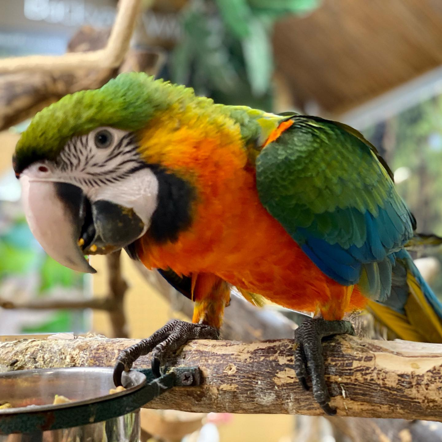 Exotic parrots for rehoming