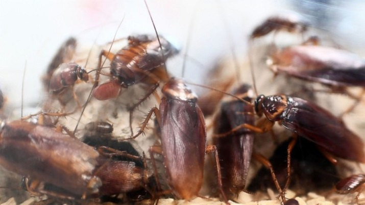 Interesting facts and Characteristics of Cock Roaches