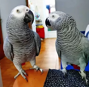 Healthy African grey parrots Available