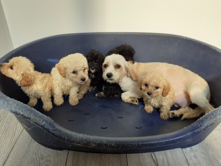 F1 CAVAPOO PUPPIES AVAILABLE NOW