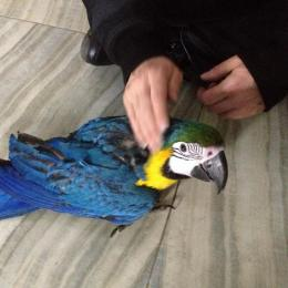 Hand Bred Pet Parrot Species available