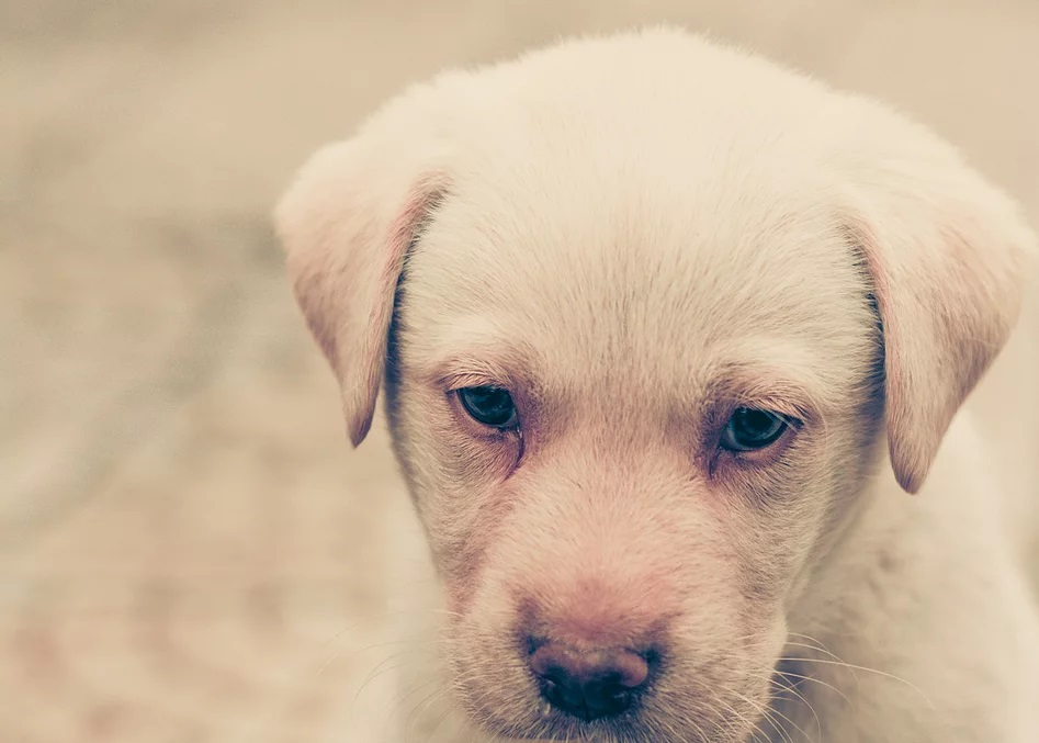 Are you looking to get Labrador Puppies In Bangalore ?