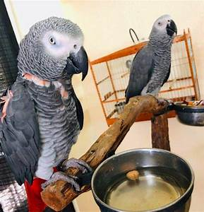 African grey parrots male and female for sale