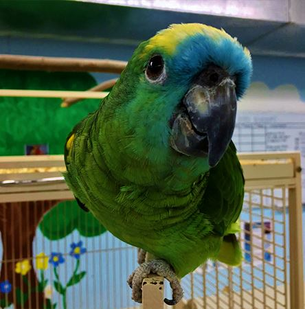 Beautiful Parrots for Sale My Feathered Family