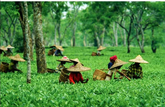 Ghograjan Teas: order tea online in the USA with awesome taste quality