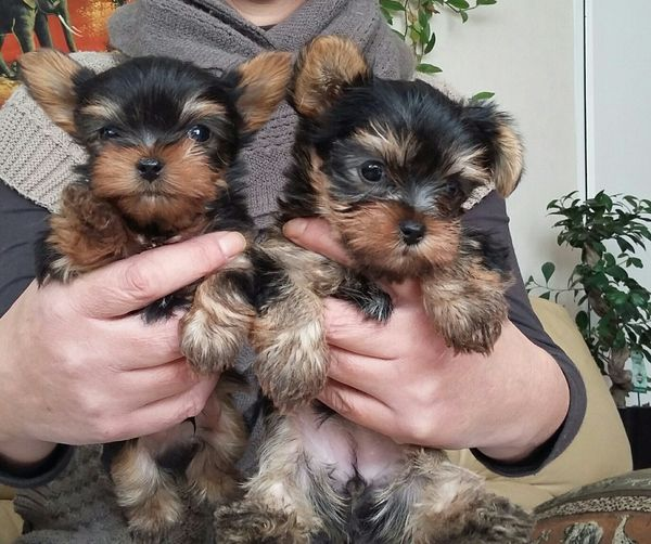 Gorgeous teacups Yorkie puppies available (786) 5053289