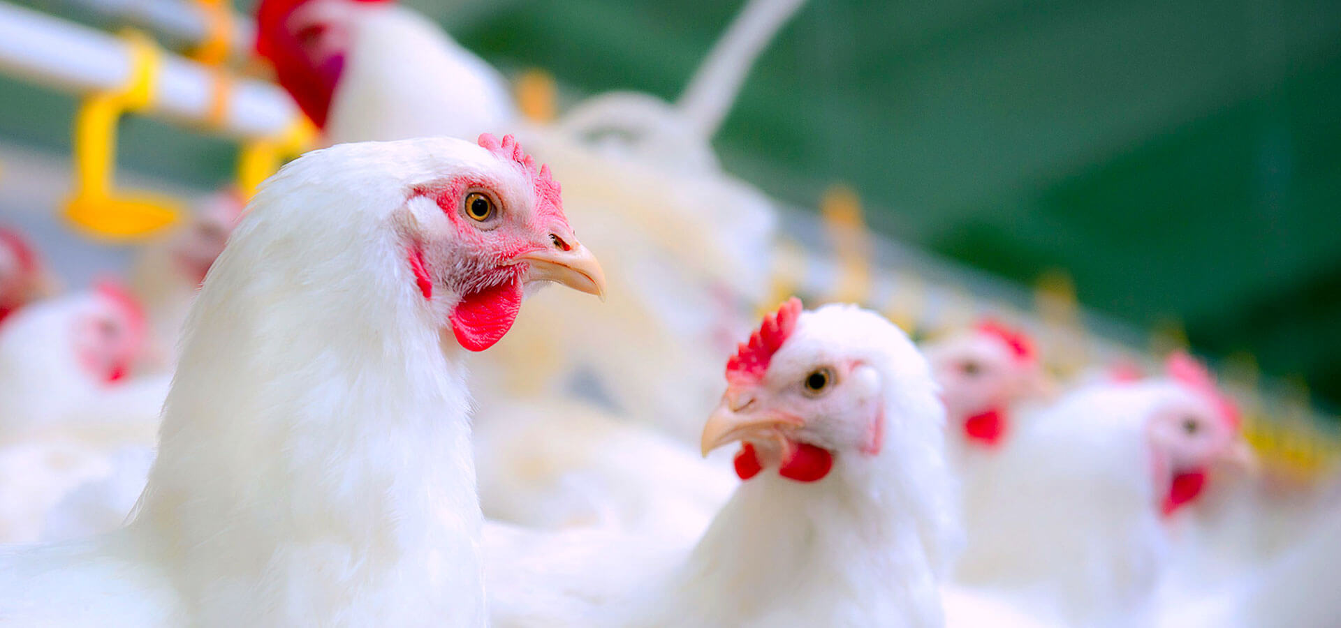 poultry growth promoters in India PVSLabs