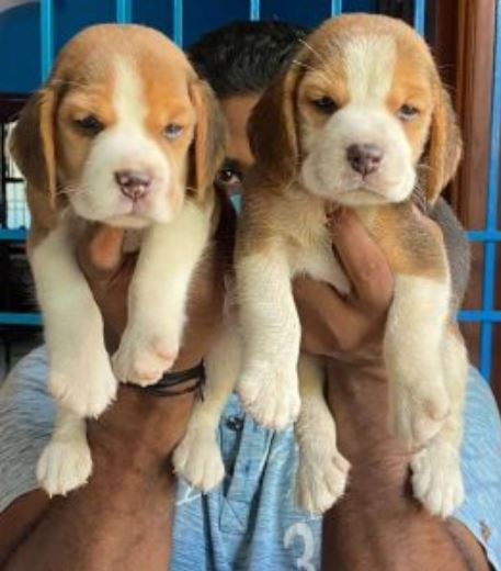WILLIAM PUPPIES Your Best Home Companion