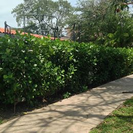 75 off Clusia hedges! Visit us today!