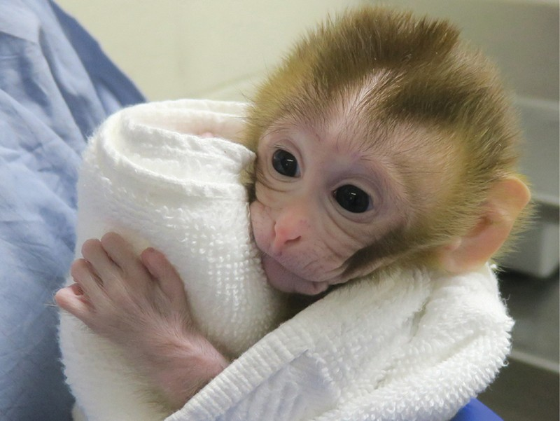 BABY RHESUS MACAQUE MONKEY FOR REHOMING