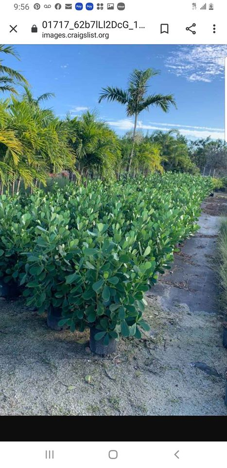 Clusia Hedges Inventory Liquidation 75 Off Best price GUARANTEED!