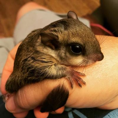 Flying squirrels for sale