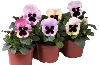 Best Quality Flowering seeds