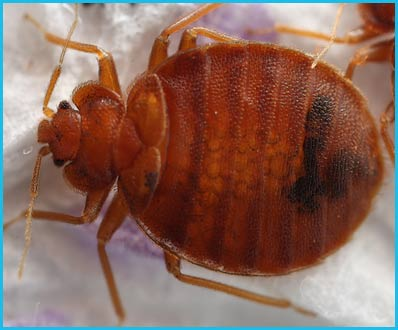 KPestMaster Bed Bugs Treatment Control Services in Jaipur