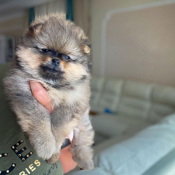 Easiest Way to Adopt Pomeranian PUPPIES FOR SALE