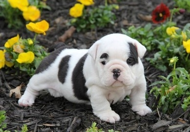 English Bull Dogs For sale