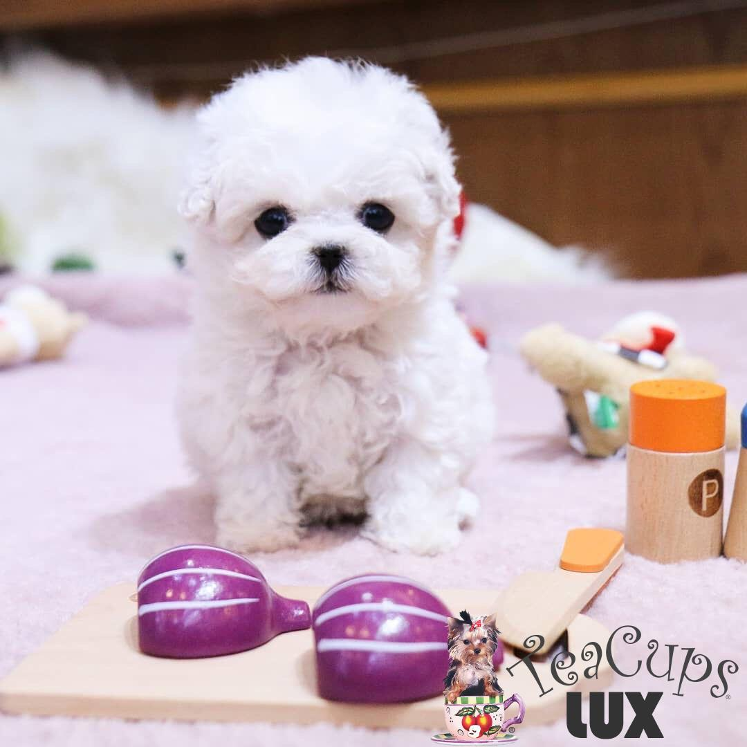 Get a Teacup Puppy in a Day!!
