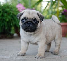 Gorgeous Fawn Pug Puppies