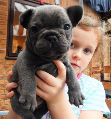 Male And Female French Bull Dogs Ready For sale