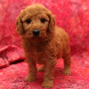 Male and Female Goldendoodle puppies now available