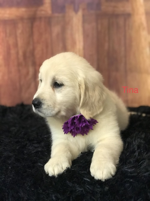 Retriever Puppies Available.