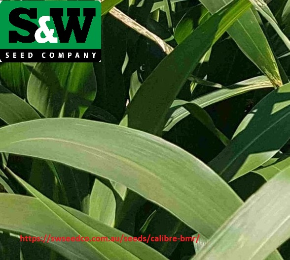 Try bmr sudangrass seeds by SW Seeds